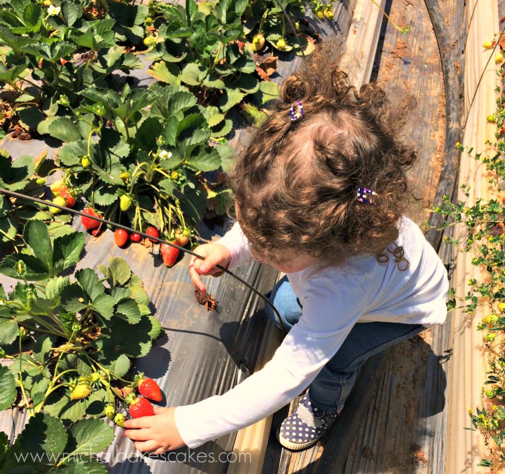 strawberries picking